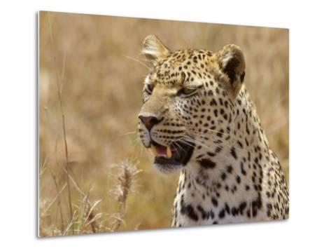 Leopard Portrait, Tanzania-Edwin Giesbers-Metal Print