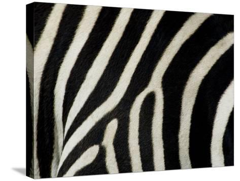 Common Zebra Close-Up Showing Stripes, Tanzania-Edwin Giesbers-Stretched Canvas Print