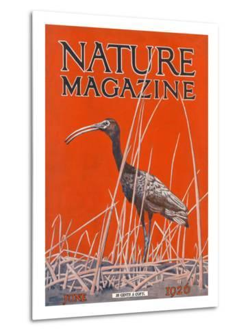 Nature Magazine - View of a Ibis in a Marsh, c.1926-Lantern Press-Metal Print