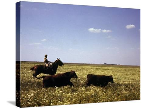 Argentinian Cowboy, known as a Gaucho, Herding Cattle on the Pampas--Stretched Canvas Print