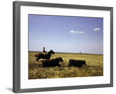 Argentinian Cowboy, known as a Gaucho, Herding Cattle on the Pampas--Framed Art Print