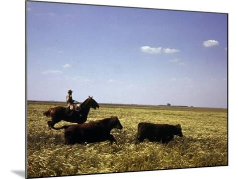 Argentinian Cowboy, known as a Gaucho, Herding Cattle on the Pampas--Mounted Photographic Print