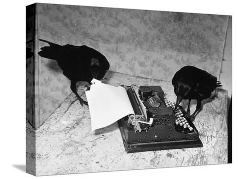 Raven Typing His Own Name of on the Typewriter-Peter Stackpole-Stretched Canvas Print