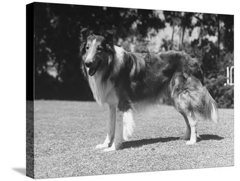 "Full-Length Side View of Collie ""Lassie""--Stretched Canvas Print"