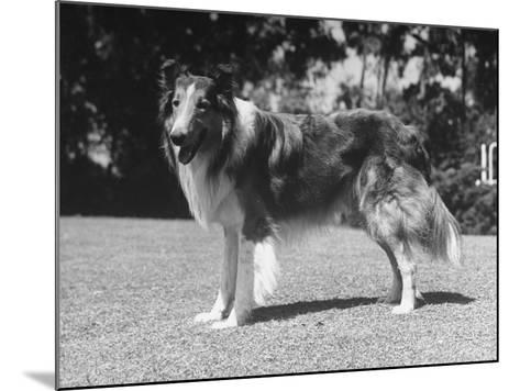 "Full-Length Side View of Collie ""Lassie""--Mounted Photographic Print"