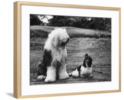 Old English Sheep Dog with Little Shih Tzu Dog-Yale Joel-Framed Art Print