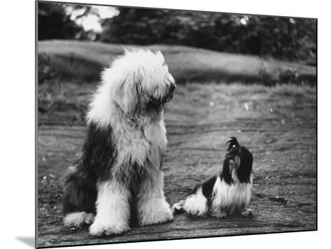 Old English Sheep Dog with Little Shih Tzu Dog-Yale Joel-Mounted Photographic Print