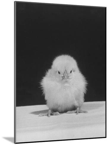 Chick Posing for the Camera--Mounted Photographic Print