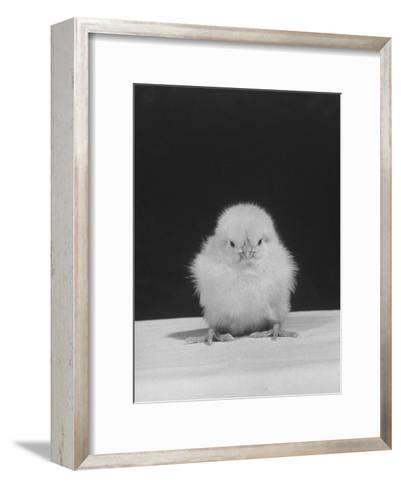 Chick Posing for the Camera--Framed Art Print