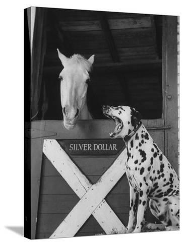 Dalmatian Stable Dog at Mystery Stables--Stretched Canvas Print