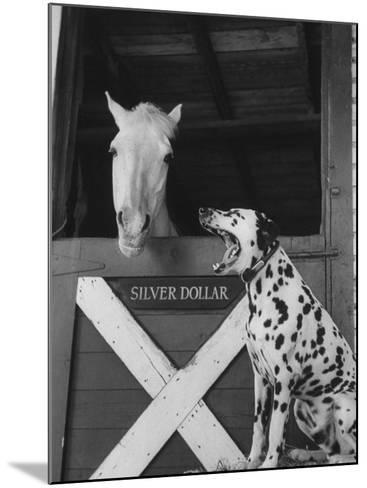 Dalmatian Stable Dog at Mystery Stables--Mounted Photographic Print