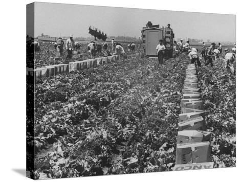 Migrant Farm Workers Picking Lettuce--Stretched Canvas Print