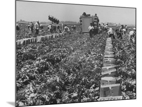 Migrant Farm Workers Picking Lettuce--Mounted Photographic Print