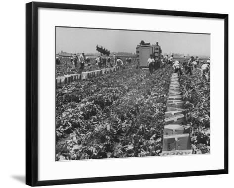 Migrant Farm Workers Picking Lettuce--Framed Art Print