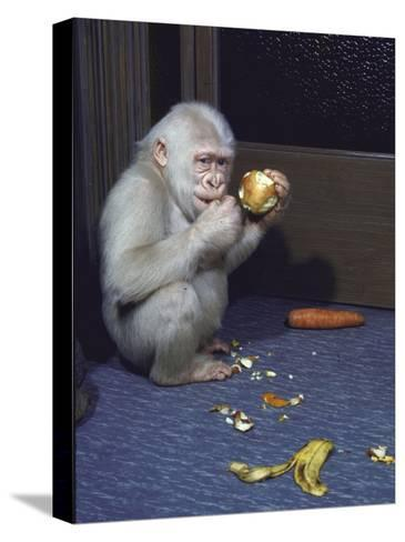 Albino Baby Gorilla Named Snowflake in Apartment of Barcelona Zoo's Veterinarian-Loomis Dean-Stretched Canvas Print