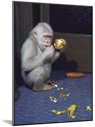 Albino Baby Gorilla Named Snowflake in Apartment of Barcelona Zoo's Veterinarian-Loomis Dean-Mounted Photographic Print