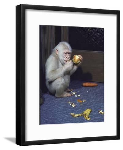 Albino Baby Gorilla Named Snowflake in Apartment of Barcelona Zoo's Veterinarian-Loomis Dean-Framed Art Print