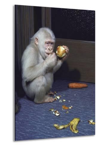 Albino Baby Gorilla Named Snowflake in Apartment of Barcelona Zoo's Veterinarian-Loomis Dean-Metal Print