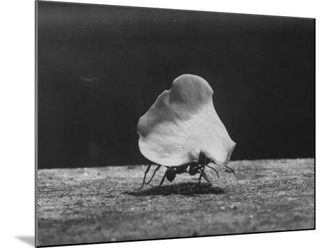 Leaf-Cutter Ant Carrying Off Rose Fragments--Mounted Photographic Print