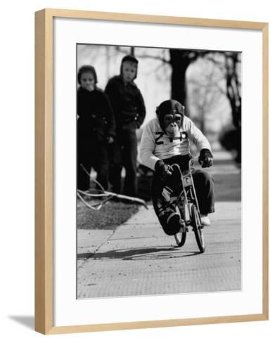 Performing Chimpanzee Zippy Riding a Bike--Framed Art Print