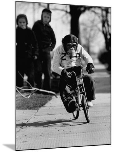 Performing Chimpanzee Zippy Riding a Bike--Mounted Photographic Print