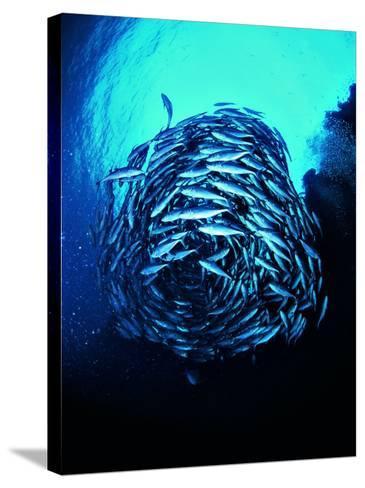 A Shoal of Jack Crevalle Crevalle Jack Fishes (Caranx Sexfasciatus)-Andrea Ferrari-Stretched Canvas Print