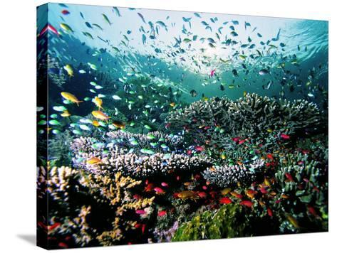 Madreporic Formation at Sipadan Island with Thousands of Little Chromis and Pseudanthias Fishes-Andrea Ferrari-Stretched Canvas Print