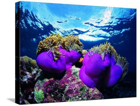 Sea Anemones (Heteractis Magnifica) and Clown Fish (Amphiprion Nigripes)-Andrea Ferrari-Stretched Canvas Print