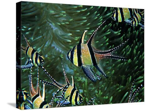 Cardinal Fishes of the Banggai-Andrea Ferrari-Stretched Canvas Print