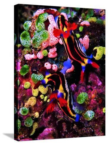 Mating of Two Specimen of Nembrotha Purpureolineolata-Andrea Ferrari-Stretched Canvas Print