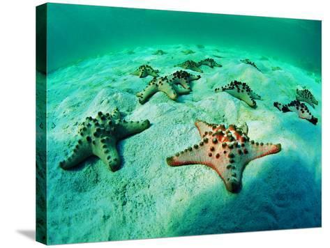 Sea Stars (Protoreaster Nodosus)-Andrea Ferrari-Stretched Canvas Print