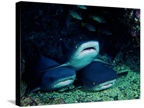 White Fin Sharks of the Reef (Trianodon Obesus)-Andrea Ferrari-Stretched Canvas Print