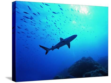 A Young Specimen of Gray Shark-Andrea Ferrari-Stretched Canvas Print