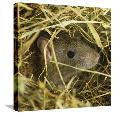 Brown Rat (Rattus Norvegicus) Head Poking Out from Hay-Nigel Cattlin-Stretched Canvas Print