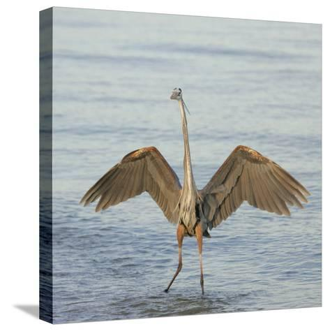 Great Blue Heron Wading in Water with its Wings Spread, Ardea Herodias, Sanibel, Florida, USA-Arthur Morris-Stretched Canvas Print