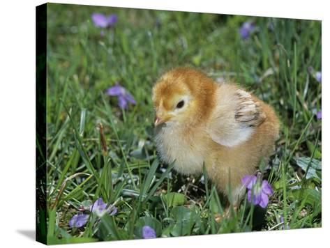 Rhode Island Red Chick, Gallus Domesticus, USA-Gay Bumgarner-Stretched Canvas Print