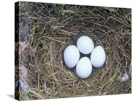 Eastern Phoebe Nest with Four Eggs (Sayornis Phoebe), Eastern North America-Wally Eberhart-Stretched Canvas Print