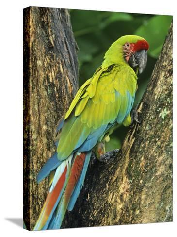 Great Green Macaw (Ara Ambigua), Costa Rica, Central America-Kent Foster-Stretched Canvas Print