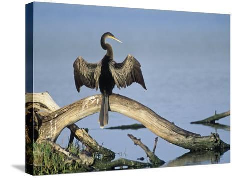 Anhinga (Anhinga Anhinga) Drying its Wings, Ding Darling National Wildlife Refuge, Florida, USA-Adam Jones-Stretched Canvas Print