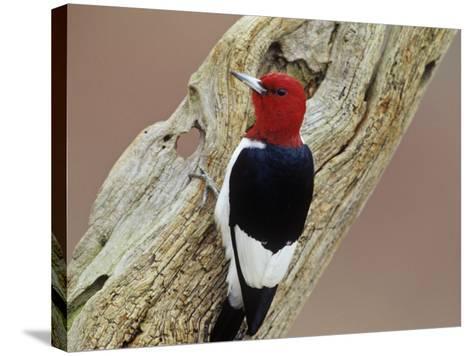 Red-Headed Woodpecker (Melanerpes Erythrocephalus), Eastern USA-Steve Maslowski-Stretched Canvas Print