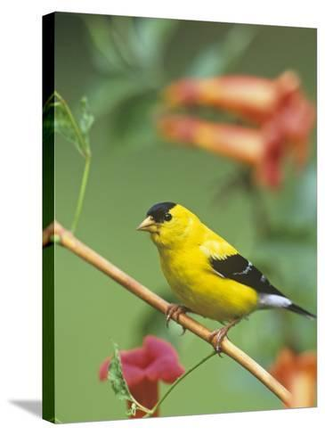 Male American Goldfinch (Carduelis Tristis) on Trumpet Creeper (Campsis Radicans). North America-Steve Maslowski-Stretched Canvas Print