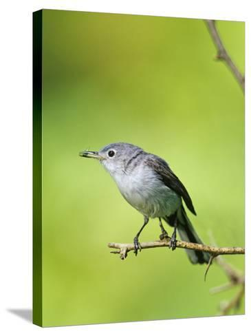 Female Blue-Gray Gnatcatcher with an Insect in its Bill (Polioptila Caerulea), North America-Steve Maslowski-Stretched Canvas Print