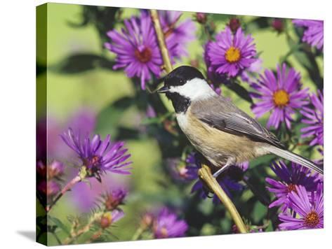 Carolina Chickadee (Poecile Carolinensis) in New England Asters, North America-Steve Maslowski-Stretched Canvas Print