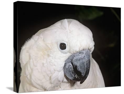 Umbrella or White-Crested Cockatoo Head, Cacatua Alba, Polynesia-Joe McDonald-Stretched Canvas Print