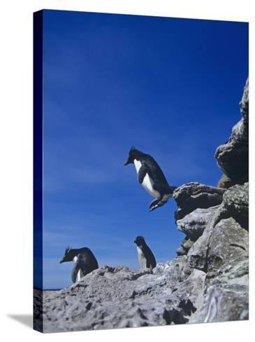 A Rockhopper Penguin Hopping Rocks, Eudyptes Chrysocome, Falkland Islands-Joe McDonald-Stretched Canvas Print