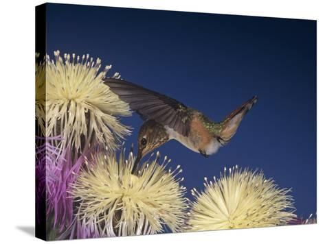 Female Rufous Hummingbird, Selasphorus Rufus, Nectaring at Flowers, Western USA-Jack Michanowski-Stretched Canvas Print