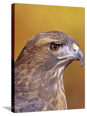 Red-Tailed Hawk, Buteo Jamaicensis, Head Showing its Eye and Bill, North America-Jack Michanowski-Stretched Canvas Print