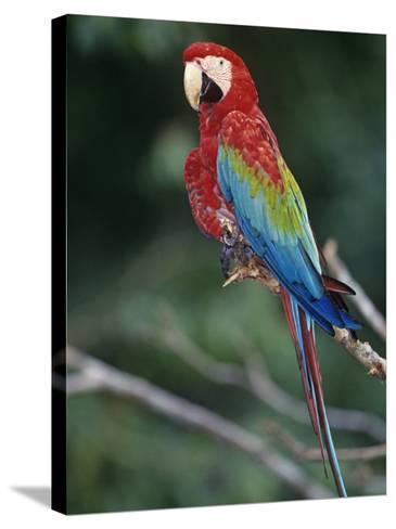Red-And-Green Macaw, Amazon Rainforest, Amazonas, Brazil, South America-Arthur Morris-Stretched Canvas Print