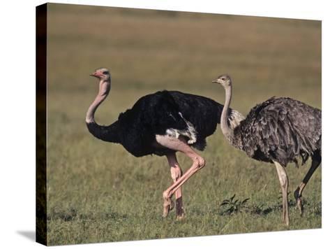Ostrich Pair (Struthio Camelus Massaicus), Masai Mara Game Reserve, Kenya, Africa-Rob & Ann Simpson-Stretched Canvas Print