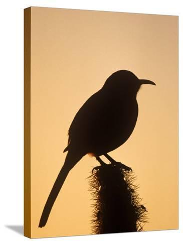 Curve-Billed Thrasher Silhouette on a Cactus, Toxostoma Curvirostre, Southwestern USA-Charles Melton-Stretched Canvas Print